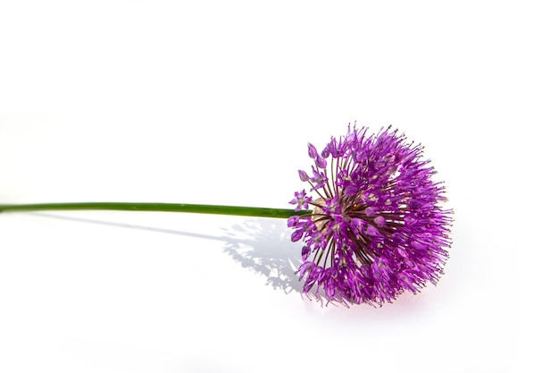 Lilac allium onion flower, isolated