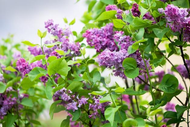 ライラックが咲きます。ライラックのクローズアップの美しい束。ライラック開花。ライラックブッシュブルーム。庭のライラックの花。