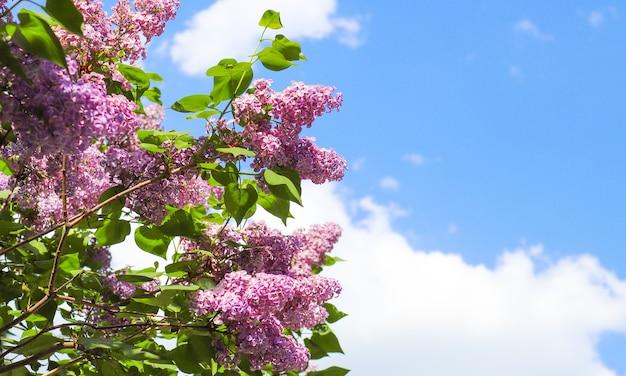 晴れた日にライラックの花の美しい花