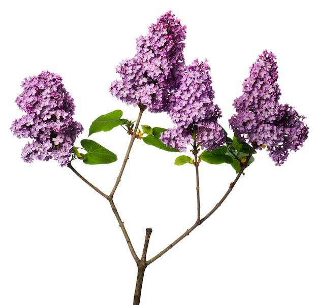 白で分離されたライラックの枝。小枝の薄紫色の花