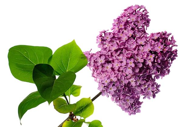 白で分離されたライラックの枝。葉のある小枝に薄紫色の花