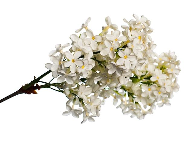 白で分離されたライラックの枝。小枝に白い花