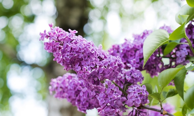 Lilac branch in nature