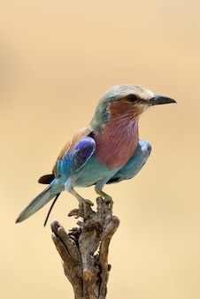 Lilac-breasted roller in national park of kenya, africa