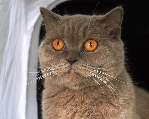노란색 큰 눈을 가진 라일락 브리티시 쇼트헤어 고양이