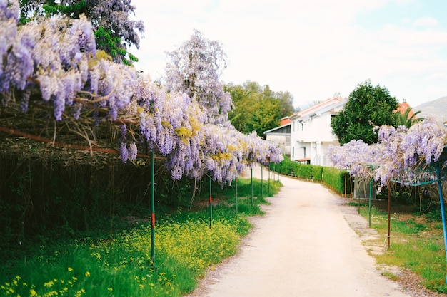 Lilac bunches of wisteria on an arch along the road with houses and trees.