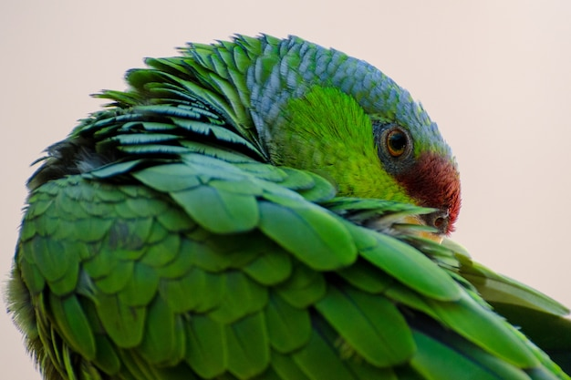 Lilac-crowned amazon parrot preening and grooming