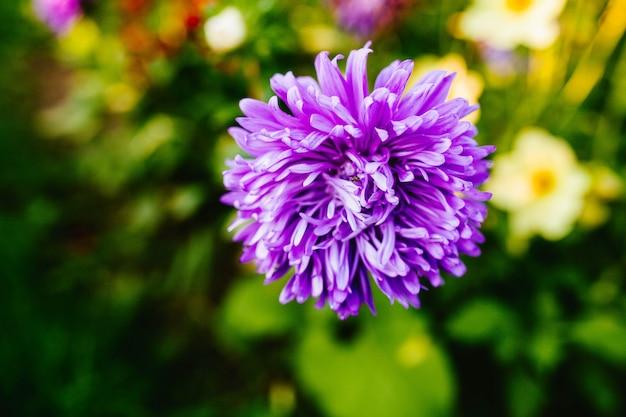 Lilac dahlia close-up