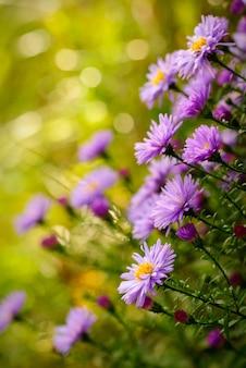 晴れた日に緑の焦点がぼけた自然の背景の上にライラックデイジーの花。セレクティブフォーカス。はがき