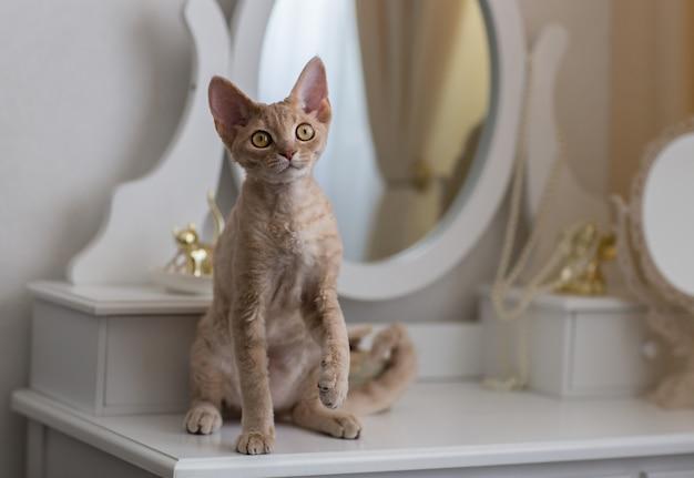 ライラックデボンレックス猫は片足を上げて桟橋のガラスに座っています。