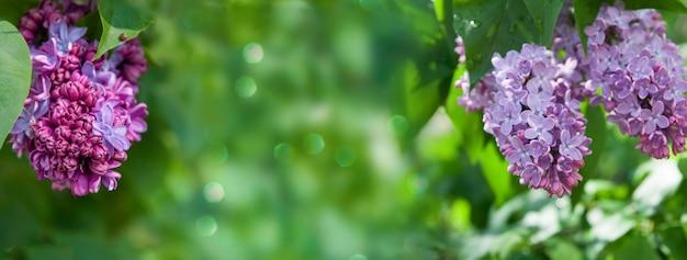 雨の後の晴れた春のライラック開花低木。ボケ味と被写界深度の短い春の背景。あなたのテキストのための場所。バナー