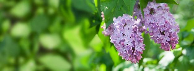 雨の後の晴れた春のライラック開花低木。ボケ味と被写界深度の短い春の背景。あなたのテキストのための場所。