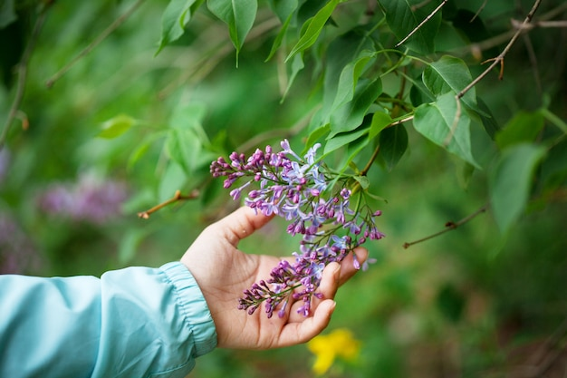 Lilac flowers in baby's hand spring