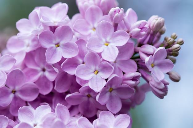 라일락 꽃입니다. 꽃 라일락의 아름 다운 봄 배경입니다. 선택적 소프트 포커스, 얕은 피사계 심도. 흐린 이미지, 봄 배경입니다.