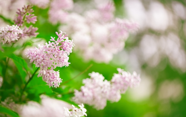 Lilac flowers branch on blurred background. selective focus.