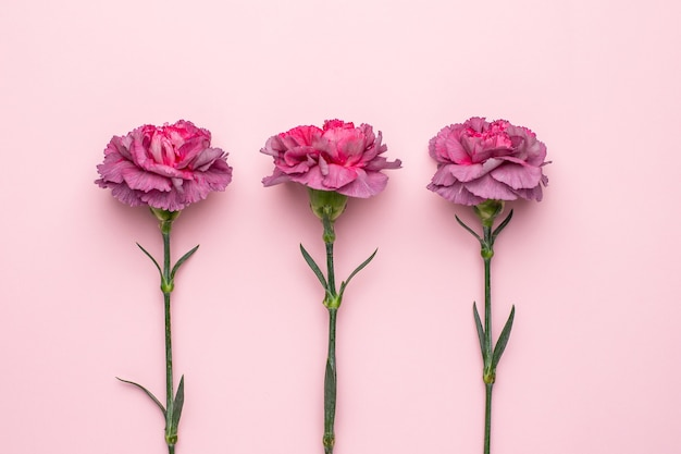 Lilac flowers carnation on pink