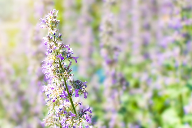 Lilac flowers of catnip nepeta faassenii on a meadow in the sun. garden ornamental plants for landscape design. nature background with copy space.