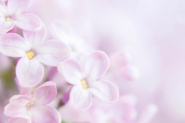 Сиреневые цветы крупным планом, на размытом фоне куст сирени