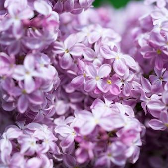 Сиреневые цветы крупным планом на размытом фоне