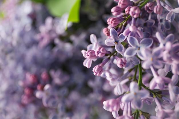 Сиреневые цветы на всем фоне, крупным планом. выборочный фокус Premium Фотографии