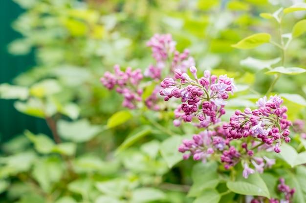 ライラックの花が咲く春のシーン。春の花ライラックの花。春のライラックの花が咲きます。春に咲くライラックの茂み。花の庭園、公園。
