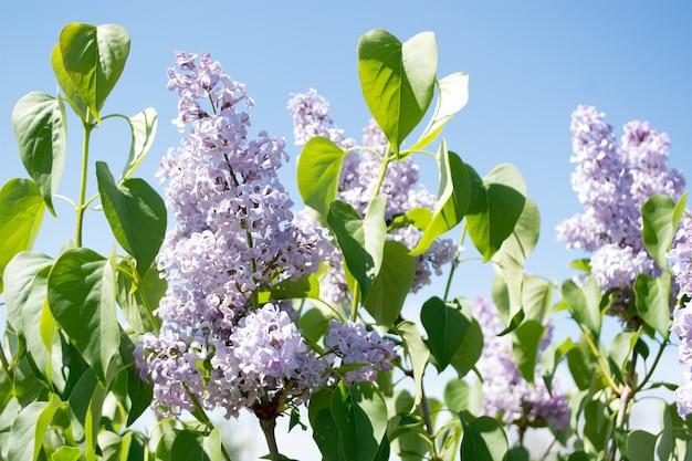 Сиреневые цветы весенний цветочный фон. сиреневые цветы на весеннем цвету. естественный весенний вид весенних цветов сирени
