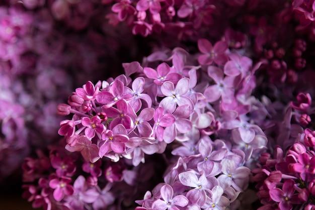 Сиреневые цветы - syringa vulgaris, красивое фиалково-розовое цветковое растение.