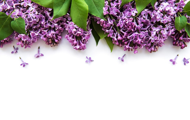 Lilac flowers on a white background