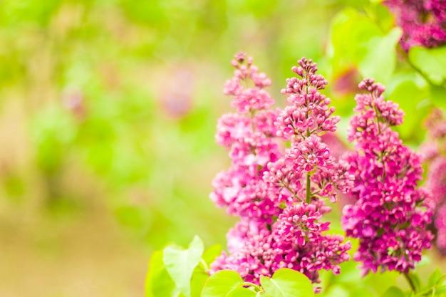 ライラックガーデン、色とりどりのライラックの花と花、春の花、トビリシ植物園