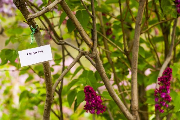 ライラックガーデン、カラフルなライラックチャートジョリーの花と花、春の花、トビリシ植物園