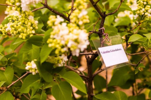ライラックガーデン、カラフルなライラックヴァレンティナグリゾドゥボワの花と花、春の花、トビリシ植物園