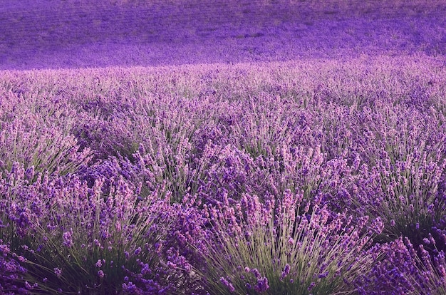 Lilac lavender field, summer landscape near valensole in provence, france. nature  with copy space.