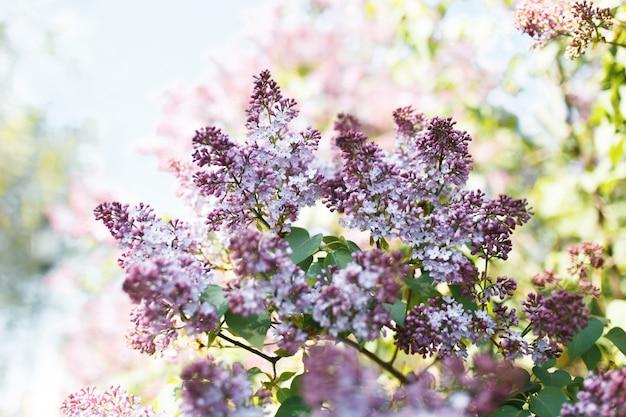 ライラック。ライラックまたはシリンジ。緑の葉とカラフルな紫色のライラック色の花。花柄。ライラックの背景テクスチャ。ライラックの壁紙