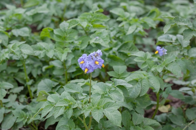 Lilac potato flowers on a background of green leaves close up horizontal photo.