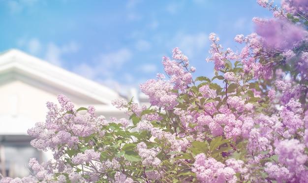 Ветви дерева сирени перед домом с белой крышей на предпосылке голубого неба.
