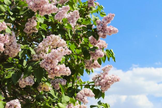 花が咲くライラックの木の茂み