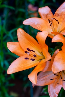 Lilies flowers bouquet  in the garden. spring flowers