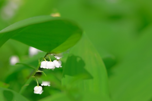 Lilies of the valley in the woods