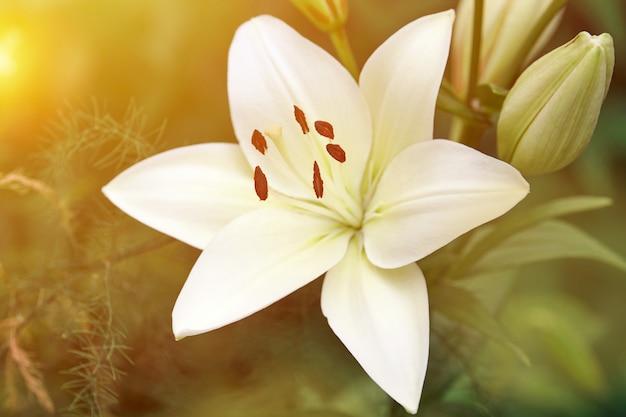 나리속 candidum 꽃입니다. 정원에 있는 아름다운 흰색 식물. 마돈나 백합 꽃, 녹색 배경입니다.