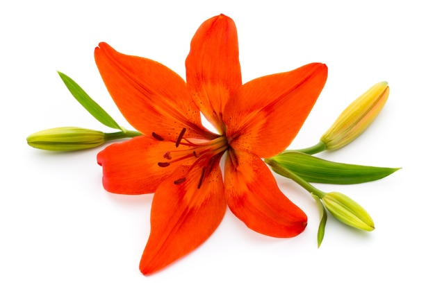 Lilly flower with buds isolated on a white surface.