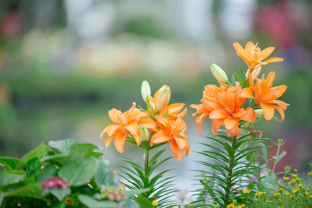 庭のリリー、ユリの花、ユリの花