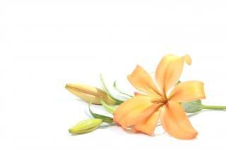 Lilly  orange
