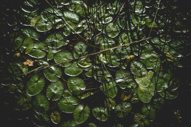 水の背景にリリーパッド