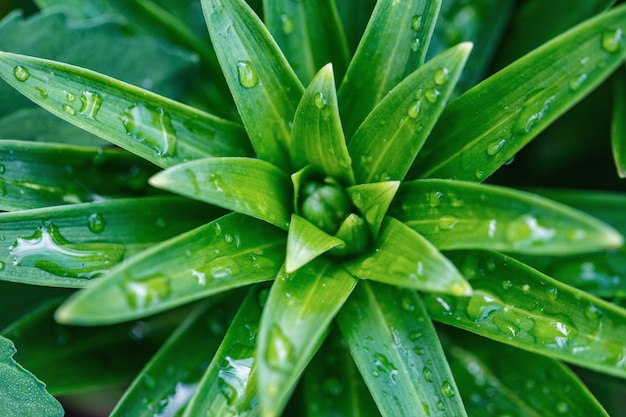 Lily close-up, dew drops on leaves, natural green background