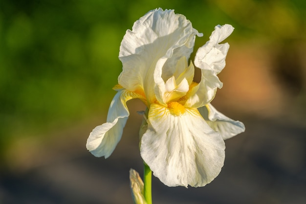 Цветок лилии цветет в саду загородного дома, крупным планом.
