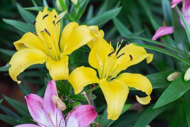 Lily flower and green leaf background in gardenbrids