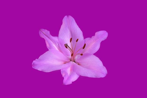 Цветок лилии, изолированные на фиолетовый. крупный план.