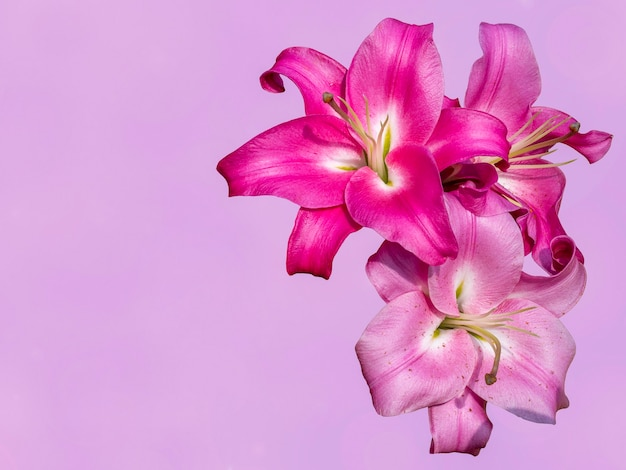 ピンクの背景にユリの花。お祝いのグリーティングカード。テキスト用の空のスペース。