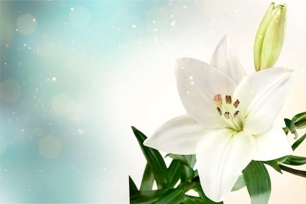 어두운 배경에 백합 꽃