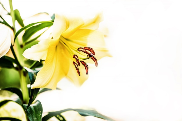 Lily flower on white. shallow depth of field.